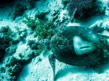 Sea turtle in the sea under water swims. Marine reptile. Underwater shooting. Coral reef and its inhabitants royalty free stock photo