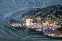 Sea Turtle, Sea World, San Diego, CA Royalty Free Stock Photography