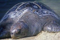 Sea Turtle, Sea World, San Diego, CA Stock Photos