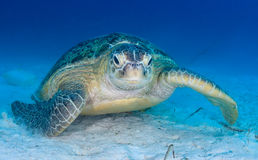 Sea turtle on the seabed Royalty Free Stock Images