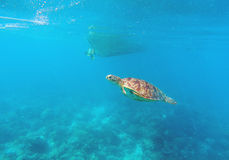Sea turtle in seawater above coral reef. Marine animal in wild nature. Royalty Free Stock Images