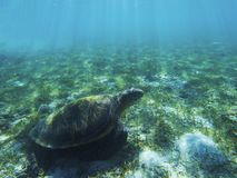 Sea turtle in shadow of sunlight. Tropical seashore underwater photo. Marine tortoise undersea. Green turtle in natural environment. Green turtle swims Royalty Free Stock Photo