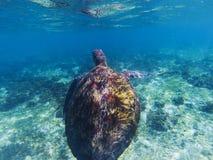 Sea turtle in shallow seawater. Seaworld underwater photo. Green turtle undersea. Marine tortoise swims in shallow sea. Marine sanctuary for endangered species Stock Photos