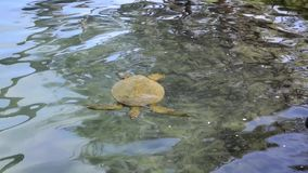 Sea Turtle in a shallow water area. Sea Turtle gently gliding and swimming in a shallow water area stock footage