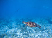 Sea turtle in shallow water. Oceanic turtle. Tropical sea nature of exotic island Royalty Free Stock Image
