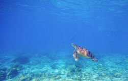 Sea turtle in shallow water. Wild turtle swims underwater in blue tropical sea. Stock Photo