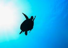 Sea Turtle silhouette with sunburst. Sea Turtle in silhouette with a sunburst behind royalty free stock photo
