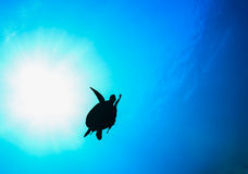 Sea Turtle silhouette with sunburst. Sea turtle silhouette in the ocean stock photos