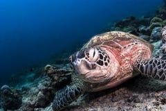 Sea Turtle sitting on the reef in Sipadan, Malaysia stock photos