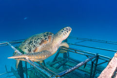 Sea Turtle on a small wreck Stock Photos