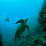 Sea turtle and snorkeler Royalty Free Stock Photos