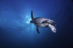 Sea Turtle starting to surface. A sea turtle swimming to the surface to breathe Royalty Free Stock Image