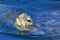 Sea turtle. Sticking his head out of the water to breathe Royalty Free Stock Image