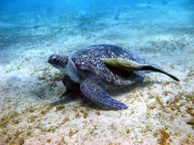 Sea turtle and suckerfish. In Red sea Stock Photo