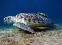 Sea turtle and suckerfish the bottom. Big sea turtle eating alga on the sand underwater stock photo