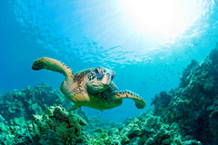 Sea turtle sunburst. Green sea turtle with sunburst in background underwater