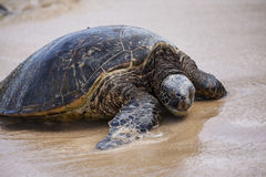 Sea Turtle. Sunning on a beach in Hawaii Stock Photos