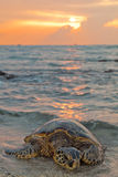 Sea Turtle during Sunset. A sea turtle rests on the beach during sunset Stock Photo