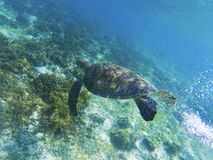 Sea turtle in sunshine. Coral reef animal underwater photo. Marine tortoise undersea. Green turtle in natural environment. Green turtle underwater. Tropical Stock Photo
