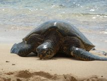 Sea Turtle and Surf royalty free stock photos
