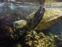 Sea turtle in the surf Royalty Free Stock Images