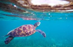 Sea turtle by sea surface. Green sea turtle closeup. Wildlife of tropical coral reef. Royalty Free Stock Photography