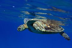 Sea turtle on the surface. Sea turtle at the Red sea on the surface stock image