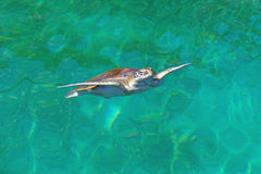 Sea Turtle. Swim in water at Reunion island Royalty Free Stock Photography