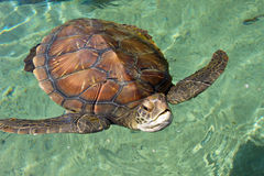 Sea Turtle. Swim in water at Reunion island Royalty Free Stock Image