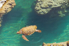 Sea Turtle. Swim in water at Reunion island Stock Photography