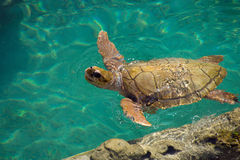 Sea Turtle. Swim in water at Reunion island Stock Photos