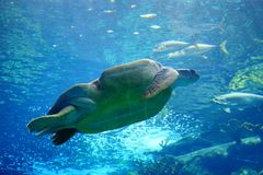 A sea turtle is swiming. A sea turtle is swimming in clear blue water at a local aquarium, taken in Florida Royalty Free Stock Photo