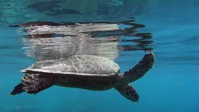 Sea Turtle. Turtle swimming in the sea stock video footage