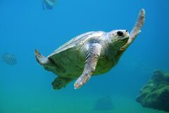 Sea Turtle Swimming Royalty Free Stock Photography