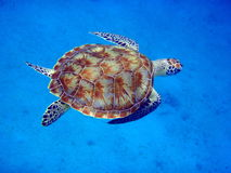 Sea turtle swimming Stock Image