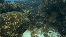 Sea turtle swimming above coral reef. A slow motion underwater shot of a sea turtle swimming freely stock footage