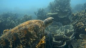 Sea turtle swimming above coral reef. A slow motion underwater shot of a sea turtle swimming freely stock video