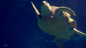 Sea turtle swimming in aquarium stock video