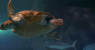 Sea turtle swimming in aquarium stock footage
