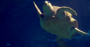 Sea turtle swimming in aquarium. At the aquarium stock footage