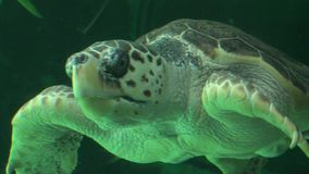 Sea Turtle Swimming In Aquarium Stock Photography