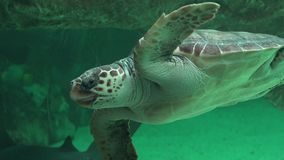 Sea Turtle Swimming In Aquarium stock video footage
