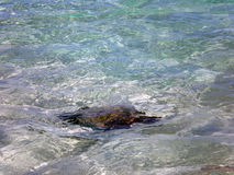 Sea Turtle Swimming Around  Royalty Free Stock Photo