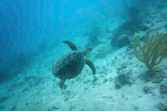 Sea Turtle. Swimming in Belize royalty free stock images