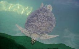 Sea turtle. A sea turtle swimming in blue water Stock Image