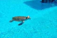 Sea turtle. A sea turtle swimming in blue water Royalty Free Stock Photography