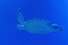 Sea turtle. Swimming in blue water Royalty Free Stock Photography