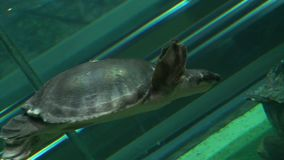 Sea Turtle swimming in blue water in giant aquarium stock video footage