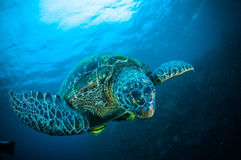 Sea turtle swimming bunaken sulawesi indonesia mydas chelonia underwater Royalty Free Stock Image