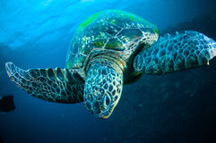Sea turtle swimming bunaken sulawesi indonesia mydas chelonia underwater Stock Photos